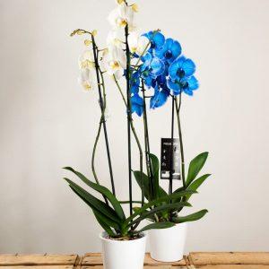 pack de orquideas en promoión con envío a domicilio en madrid